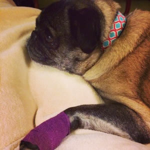 Pug with a hurt paw tries herbal remedy