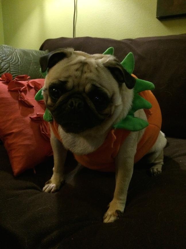 pugs pumpkin Halloween costume funny