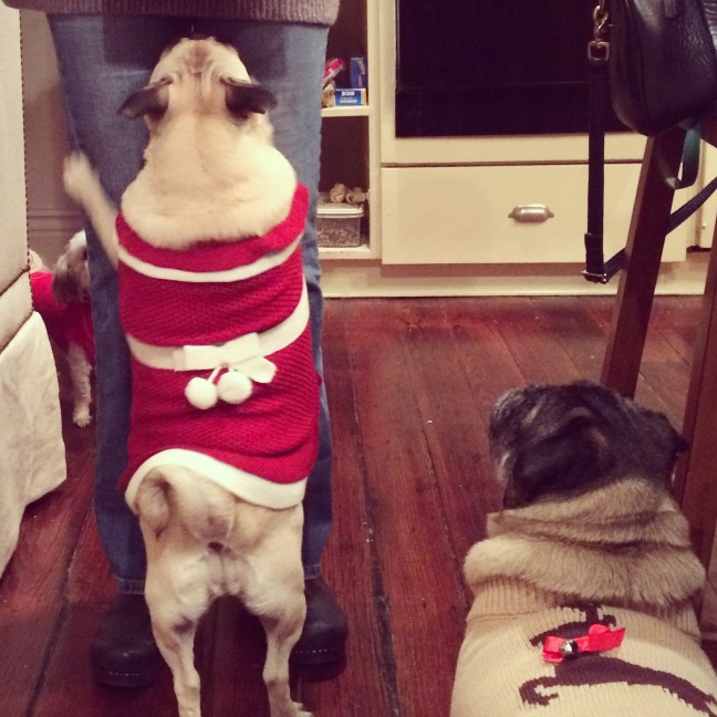 pugs, pugs in holiday attire, dog Christmas sweaters