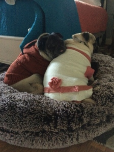 Pugs wearing winter fashion